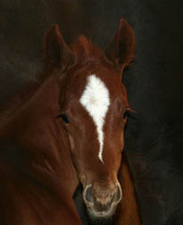 Thoroughbred Colt - Future Racehorse